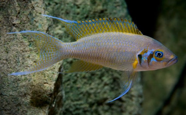 Neolamprologus Pulcher - Juvenile, Unsexed, Tank Raised, COMING SOON!