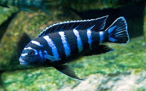 This fish is a Pseudotropheus Demasoni - Demason's Cichlid