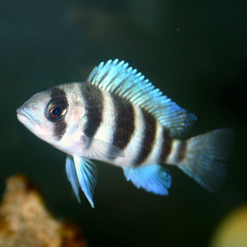 This fish is a Cyphotilapia Frontosa - Burundi, it is in stock and for sale!