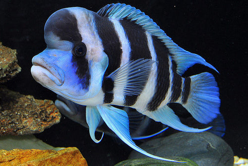"Cyphotilapia Frontosa - Burundi 6 Stripe, Unsexed, 2-2.5"", Farm Raised"