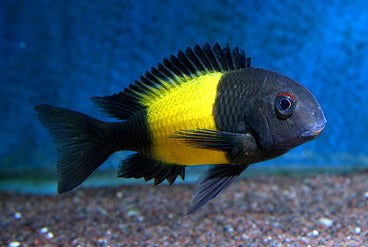 This fish is a Tropheus Moori aka Kaiser Ikola, it is in stock and for sale!