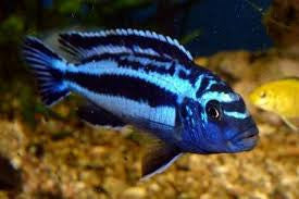 This fish is a Melanochromis Johanni Cobalt Blue, it is in stock and for sale!