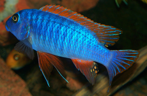 Labeotropheus Trewavasae - Unsexed, Tank Raised