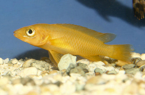 This Fish is a Neolamprologus Leleupi