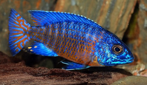 Mdoka Flametail Peacock