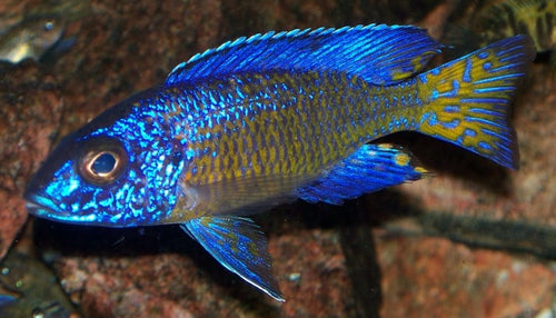 This fish is a Aulonocara Stuartgranti - Mdoka Flametail Peacock, it is in stock and for sale!