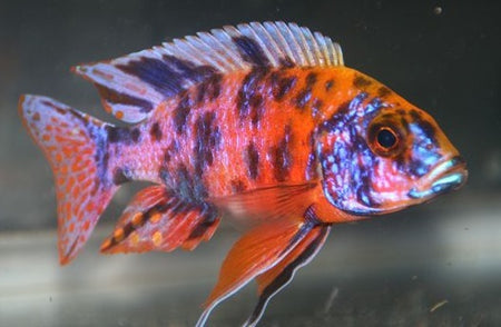 Lamprologus Ocellatus - Gold, Medium 1-2""