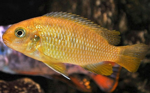 Tropheops sp. - Red Cheek, Tank Raised
