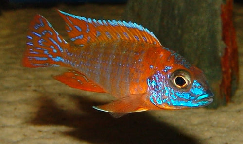 "This fish is a Red Peacock or ""Chipoka"""