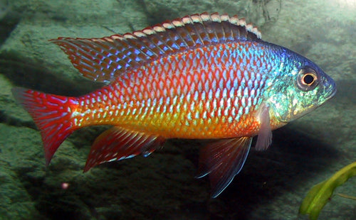 Protomelas Taeniolatus - Red Empress, Juvenile, Unsexed, Medium 2-2.5""