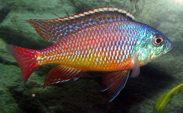 This fish is a Protomelas Taeniolatus - Red Empress