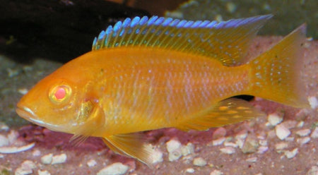 Spotcheek Cichlid - Thorichthys Ellioti, COMING SOON!