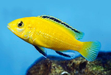 This fish is a Labidochromis Caeruleus, aka Electric Yellow Lab it is in stock and for sale!