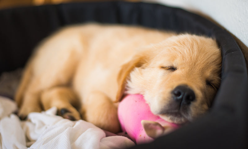 puppy sleeping with toy cute