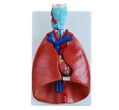 XC320 Heart, Larynx, Lungs Model