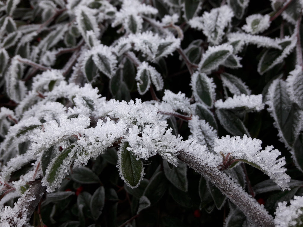 Shrub with frost
