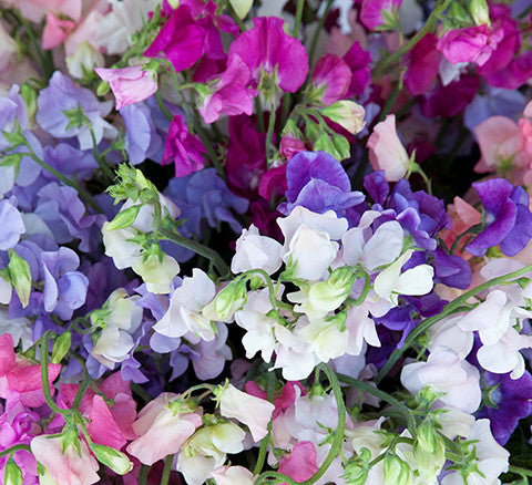 Sweet Peas Image Julian Winslow