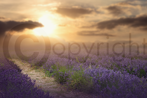 Lavender Field Digital Background 2