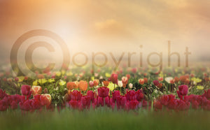 Tulip Field Digital Background/Composite