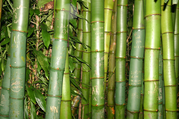 bamboo plants by Life & Form