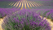 Lavender gives it's scent to Lavender Reed Diffuser Grand by Life & Form