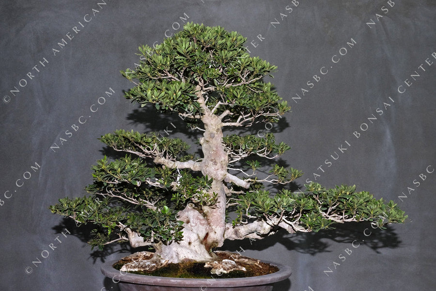 A beautiful Hakurei satsuki bonsai - Front view