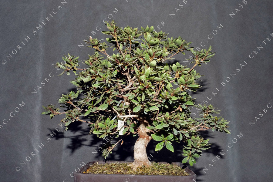 A beautiful Hinomaru satsuki bonsai - Front view