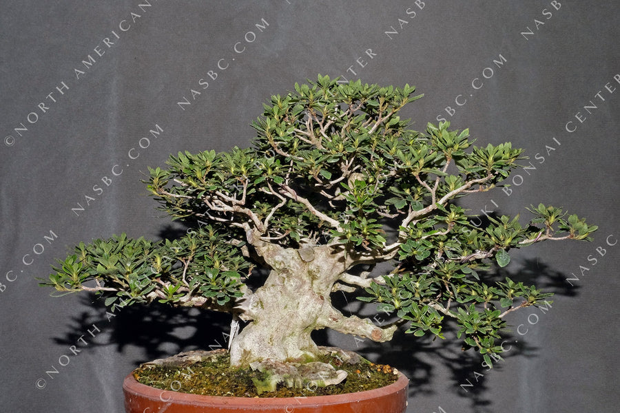 A beautiful Kegon satsuki bonsai - Front view