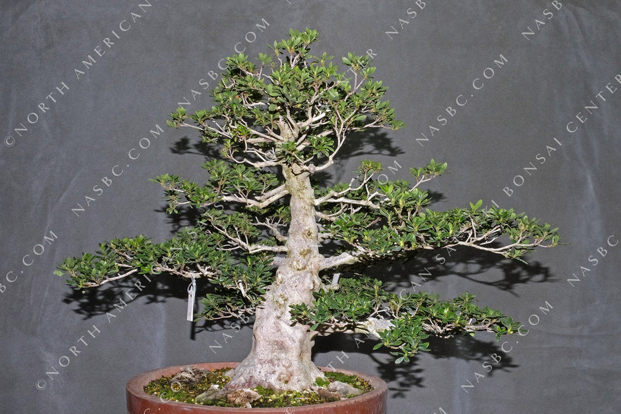 A beautiful Koun satsuki bonsai - Front view