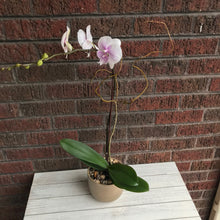 Galentine Orchid Plant