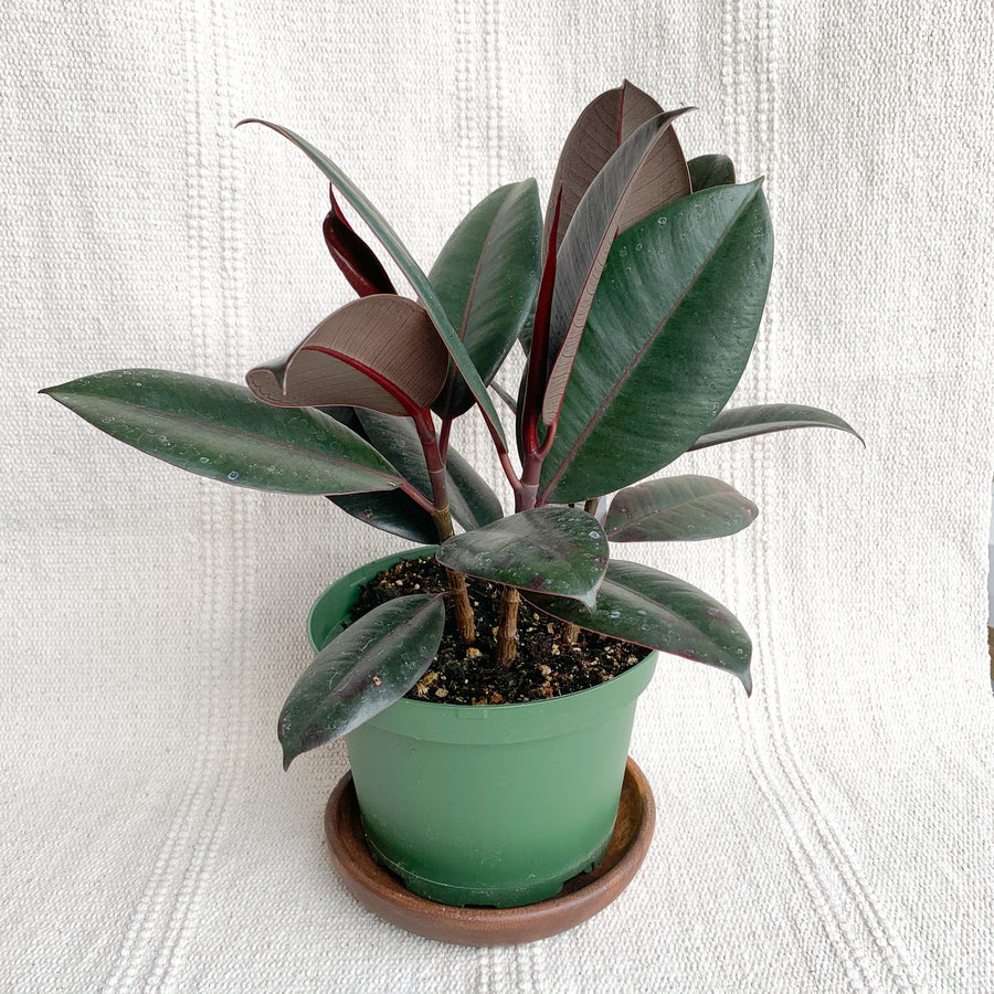 Rubber Plant Burgundy