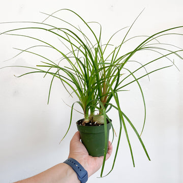 Pony Tail Palm Plant