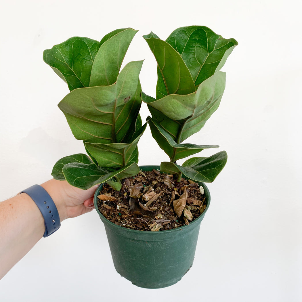 Ficus Lyrata Little Fiddle