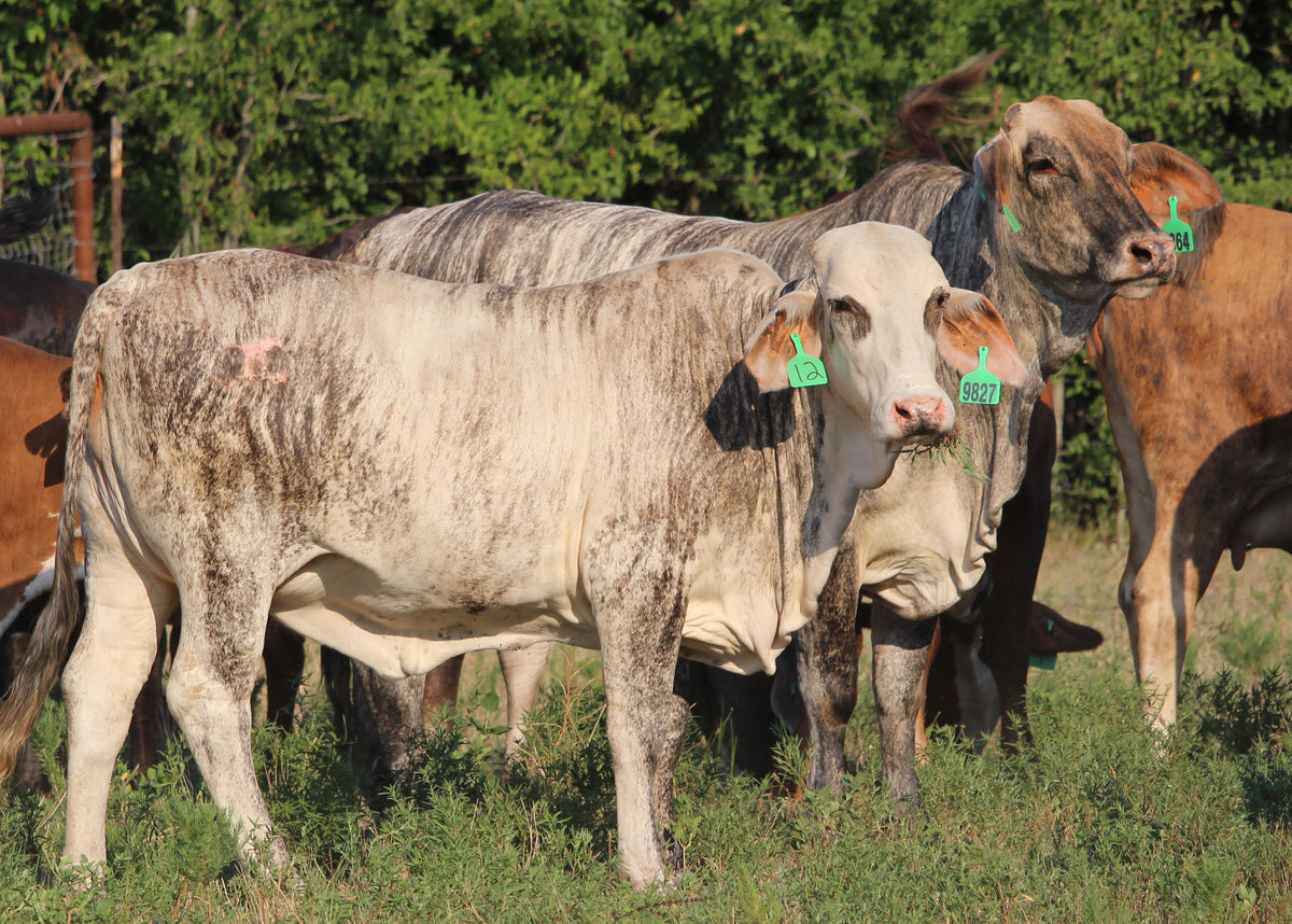 Braford/Tigerstripe Heifers - Bred