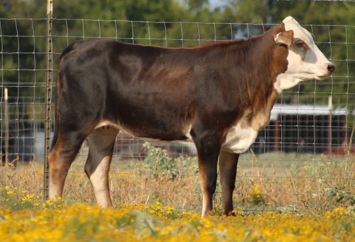 Brahman Influenced Heifers - Open