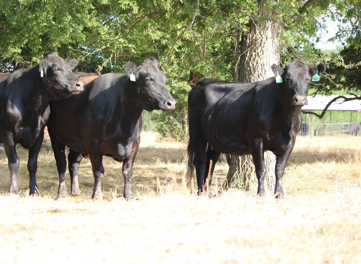 Angus Cows- Bred