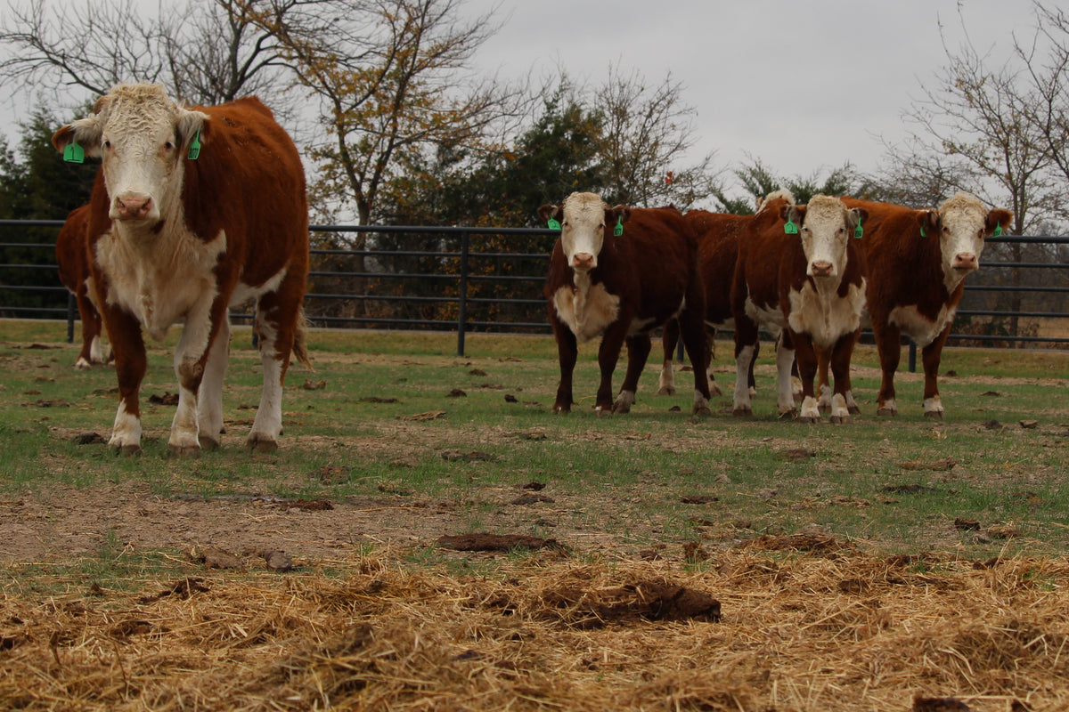 Hereford Bred Heifers