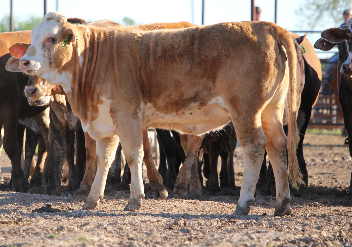 Braford/Tigerstripe Heifers - Open