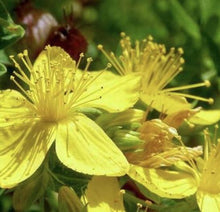 Load image into Gallery viewer, Organic St John's Wort Macerated Oil 100ml