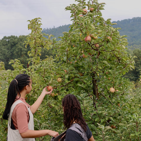 Two women standing next to an apple tree, one picking an apple.