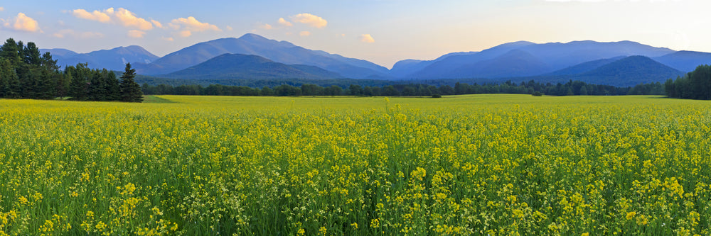 panoramic view of mt colden mt jo and wright peak with a huge field of yellow canola flowers in the forefround in the high peak region of the adirondack mountains.