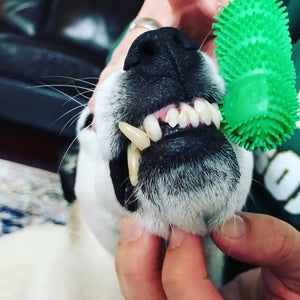 Waggletooth Patented Dog Toothbrush - Dentist Designed