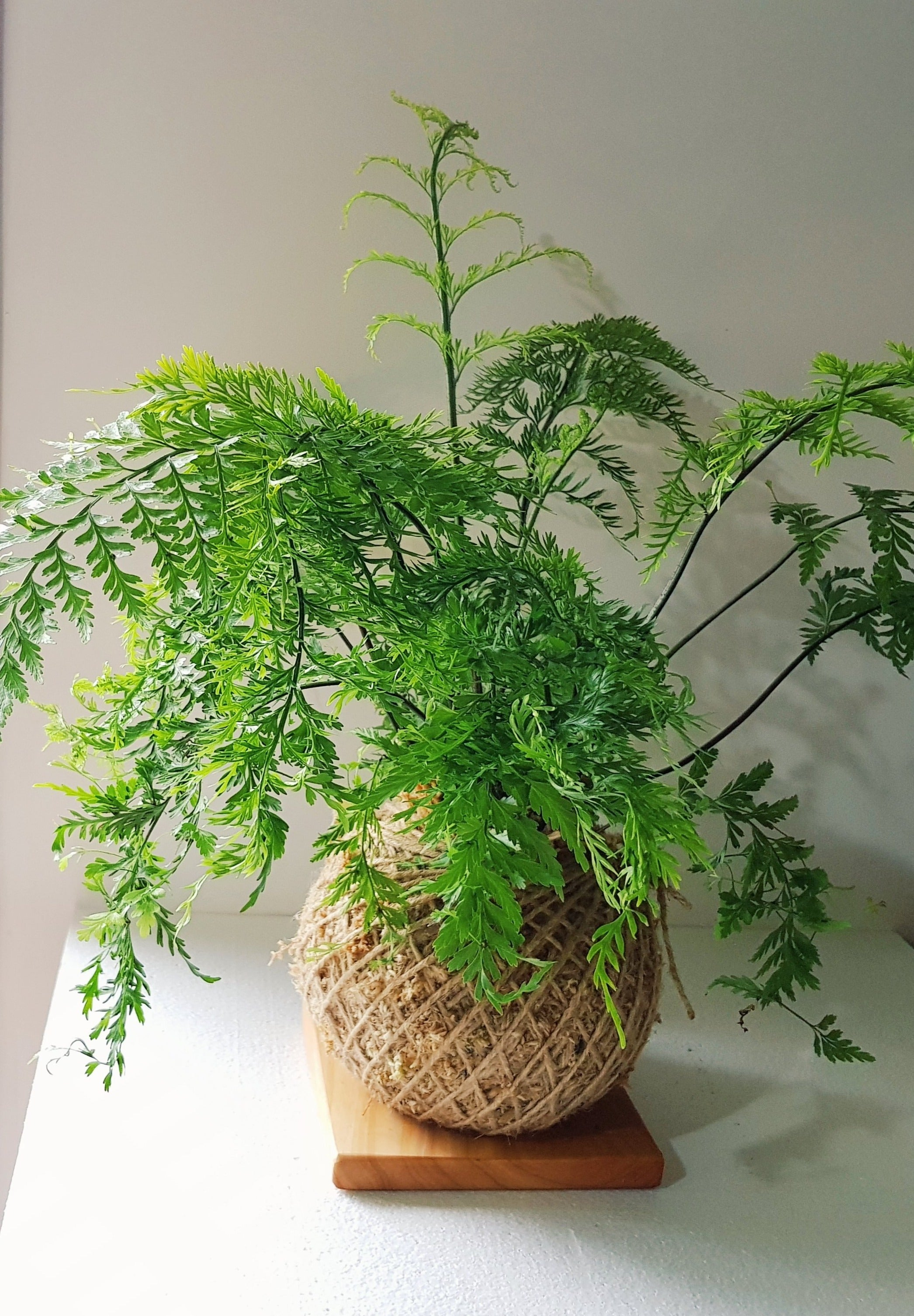 Asplenium Bulbiferum Fern NZ Native plants Kokedama Coastal Flair