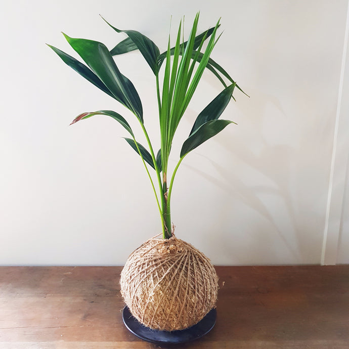 Kentia Palm Kokedama