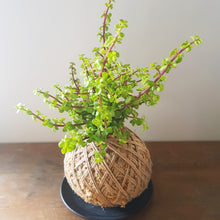 Succulent Kokedama- Assorted