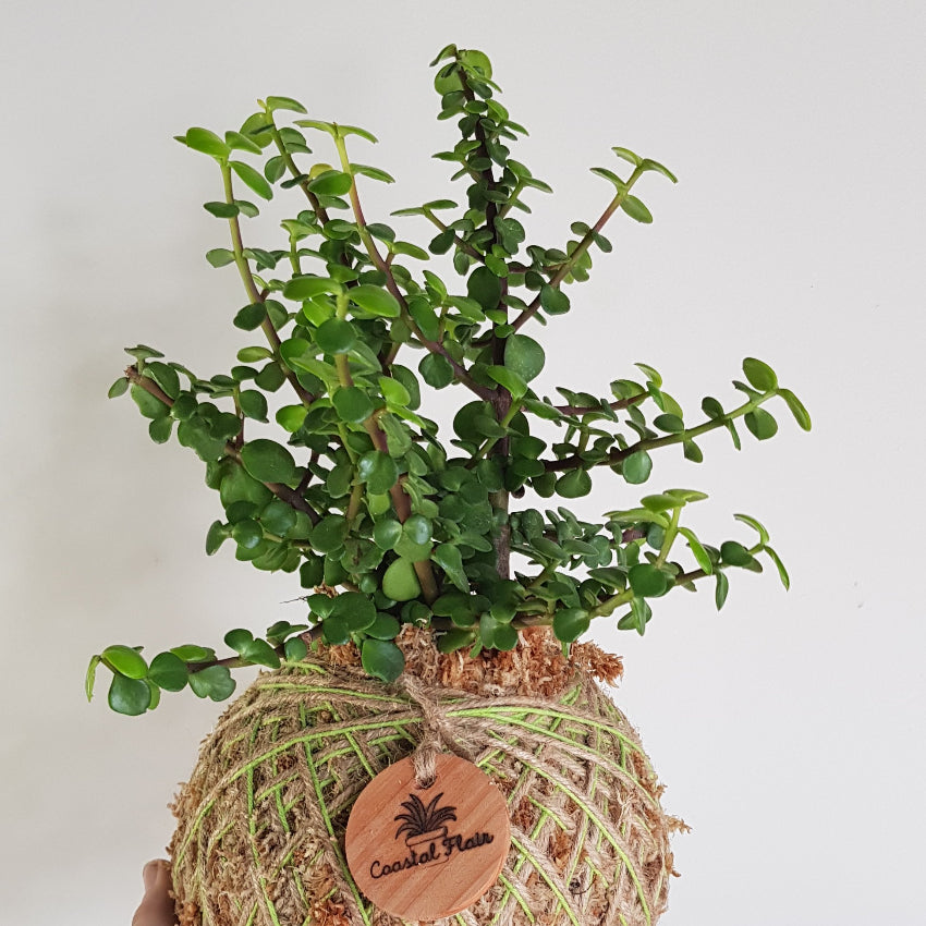 Assorted Succulent Kokedama