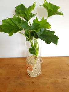 Philodendron Hope Water-Plant
