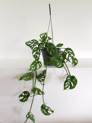 Monstera SwissCheese Vine large
