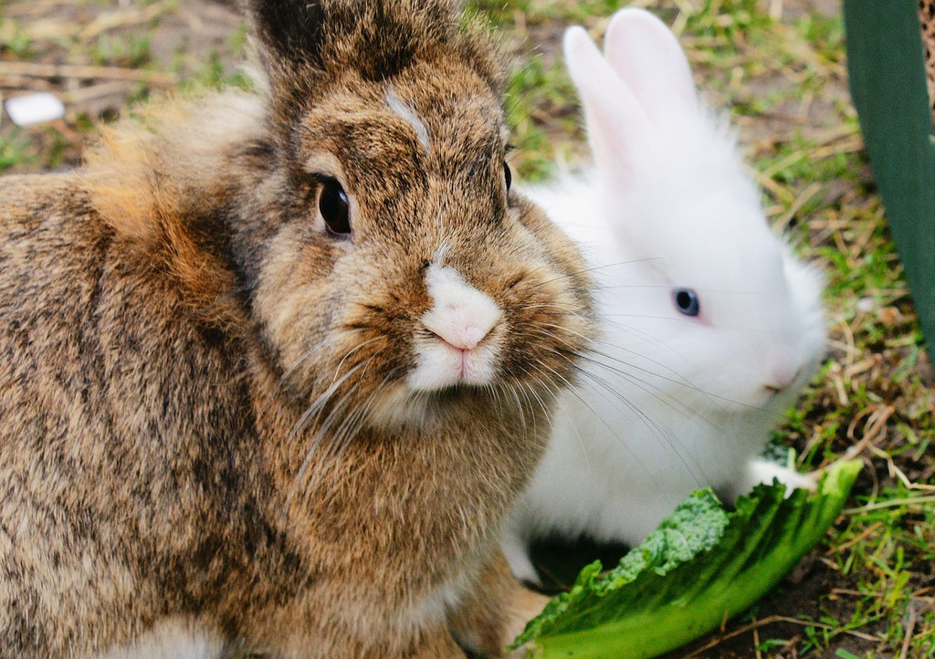 Rabbit Home Vaccination
