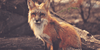 The Fox Hunt: Its Conservation and Preservation